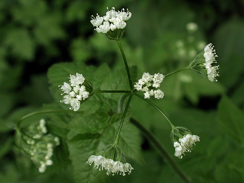Scented Sweet-cicely