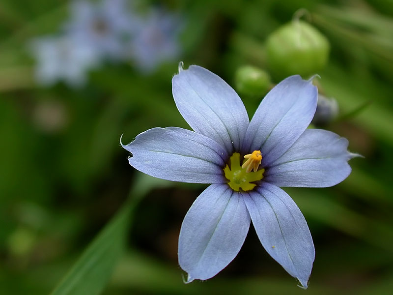 Pointed Blue-eyed-grass