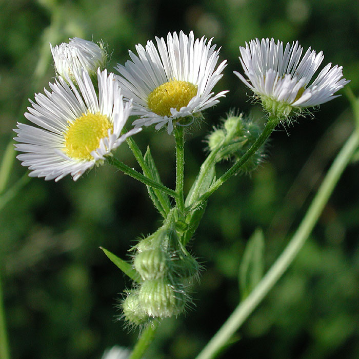 White-top Fleabane