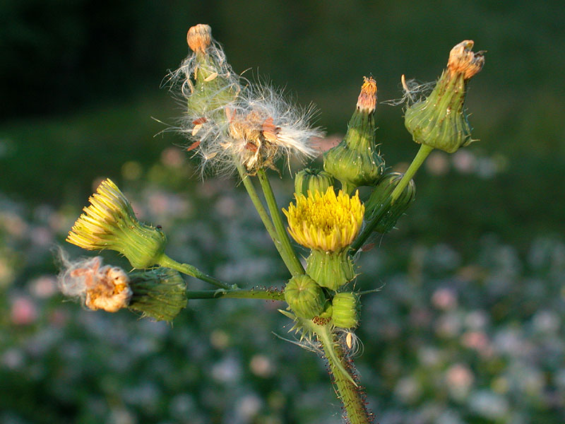 Spiny-leaf Sowthistle