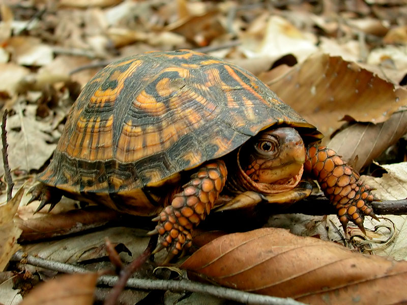 Box turtle <i>(Terrapene carolina)</i><br>Iron Hill, June 2005