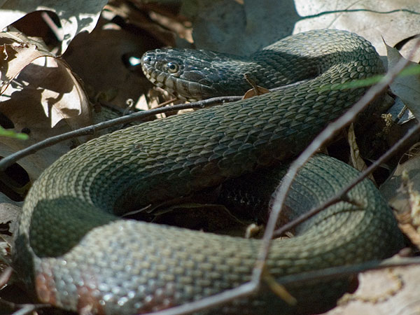 Northern water snake <i>(Nerodia sipedon)</i><br>Ratledge woods, May 2006