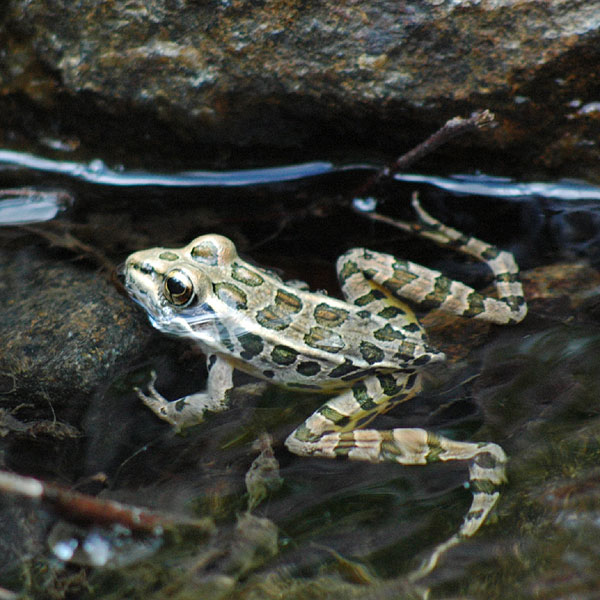 Pickerel frog <i>(Rana palustris)</i><br>Brandywine Creek State Park, May 2006