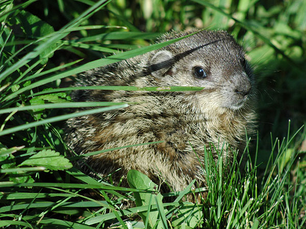 Groundhog<br>May 2006