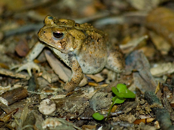 American toad <i>(Bufo americanus)</i><br>Middle Run, May 2006