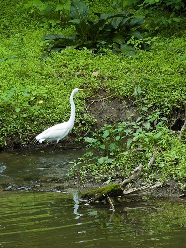 Common egret<br>Red Clay Creek, June 2006