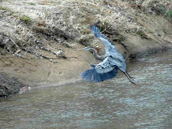 Great blue heron<br>White Clay Creek, April 2007
