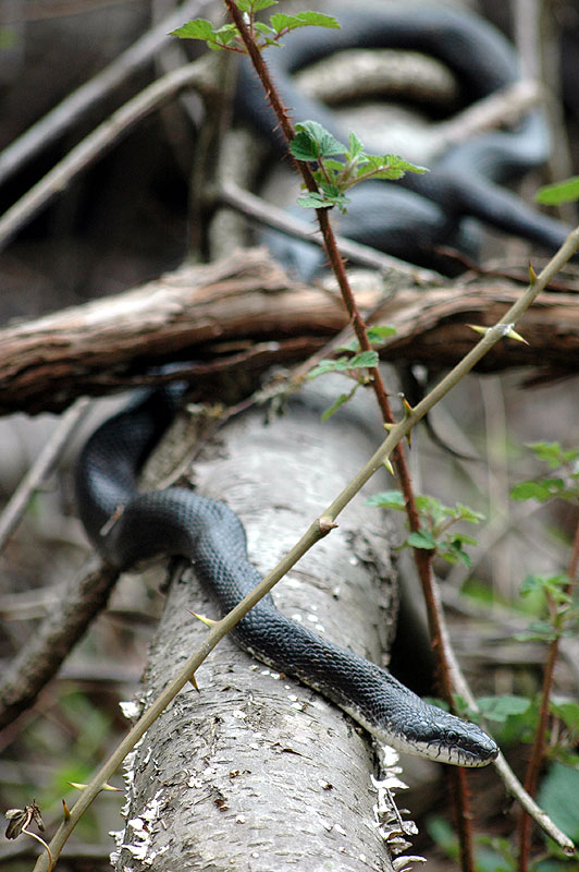 Black rat snake <i>(Elaphe obsoleta)</i><br>Middle Run, April 2007