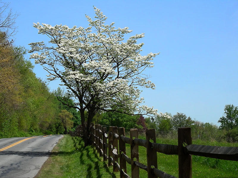 Dogwood on Pleasant Hill Road, May 2007