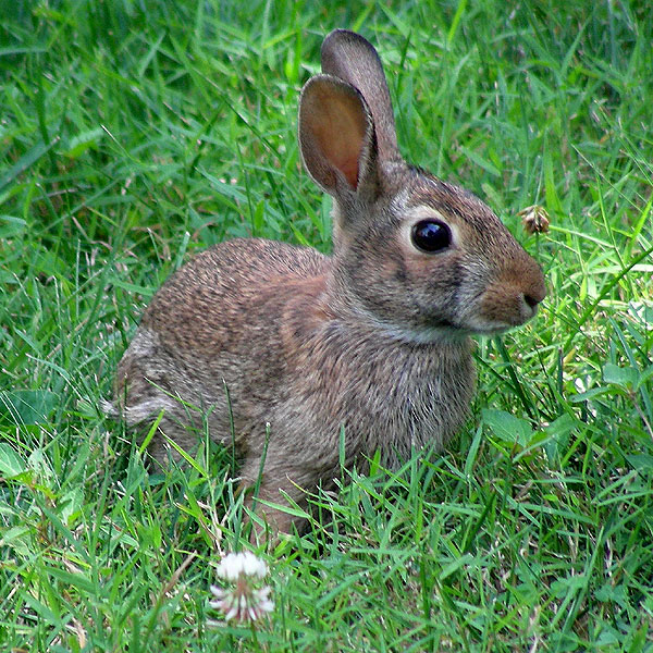 Rabbit<br>July 2007