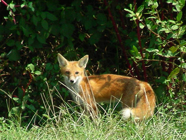 Fox<br>Newark reservoir, September 2007