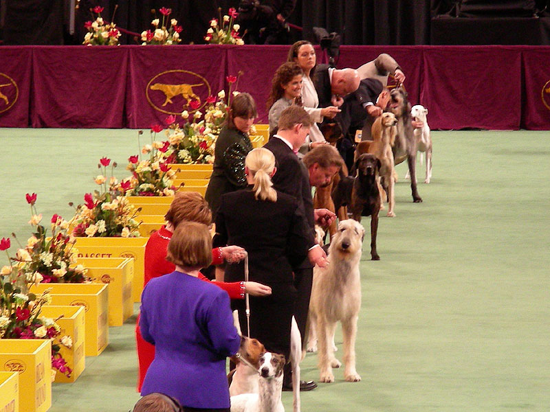 Hounds and their handlers at Westminster, February 2008