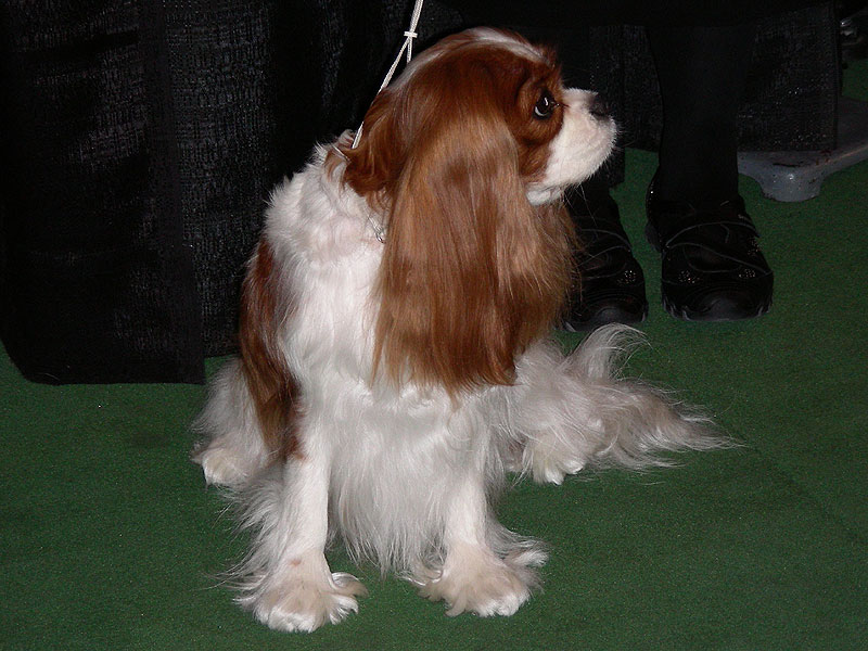 A Cavalier King Charles spaniel waiting to go in the ring