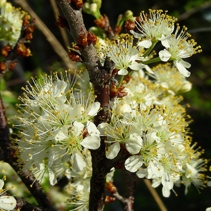Prunus maritima