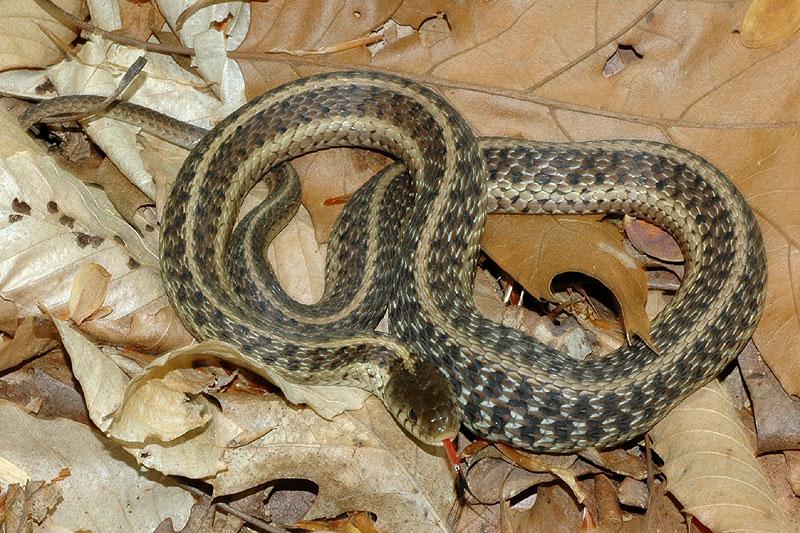 Snakes On Hilton Head Island