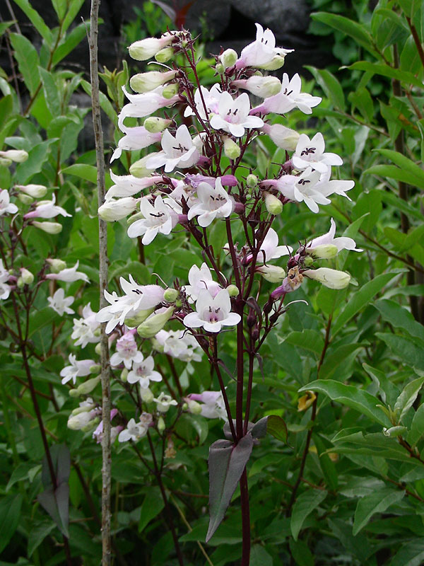Tall White Beardtongue