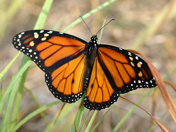 Monarch butterfly <i>(Danaus plexippus)</i><br>Hillside Mill Road, August 2008