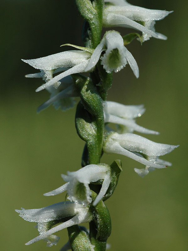 Spiranthes lacera var. gracilis