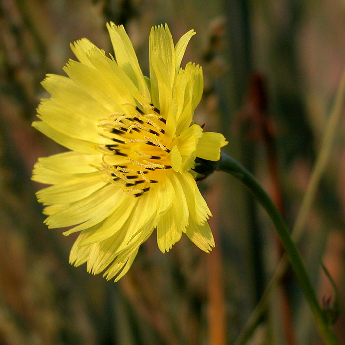 Carolina False-dandelion