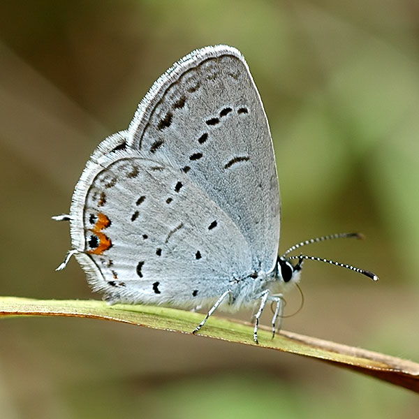Eastern Tailed Blue <i>(Cupido comyntas)</i><br>Middle Run, September 2008