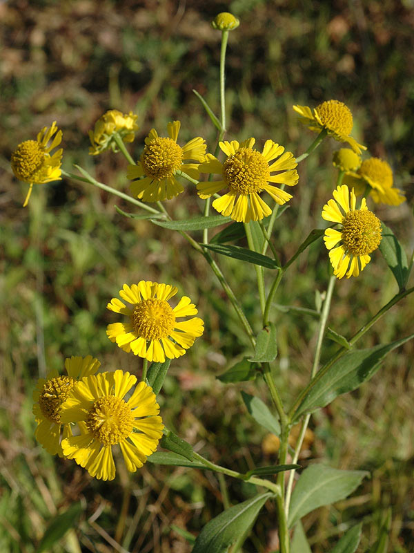 Autumn Sneezeweed