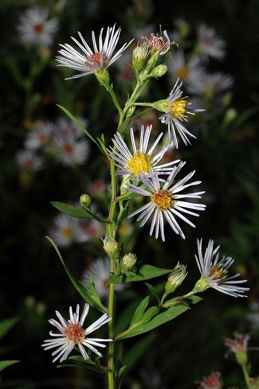 Smooth Heath Aster
