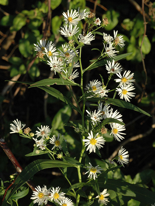 Narrow-leaf Panicled Aster