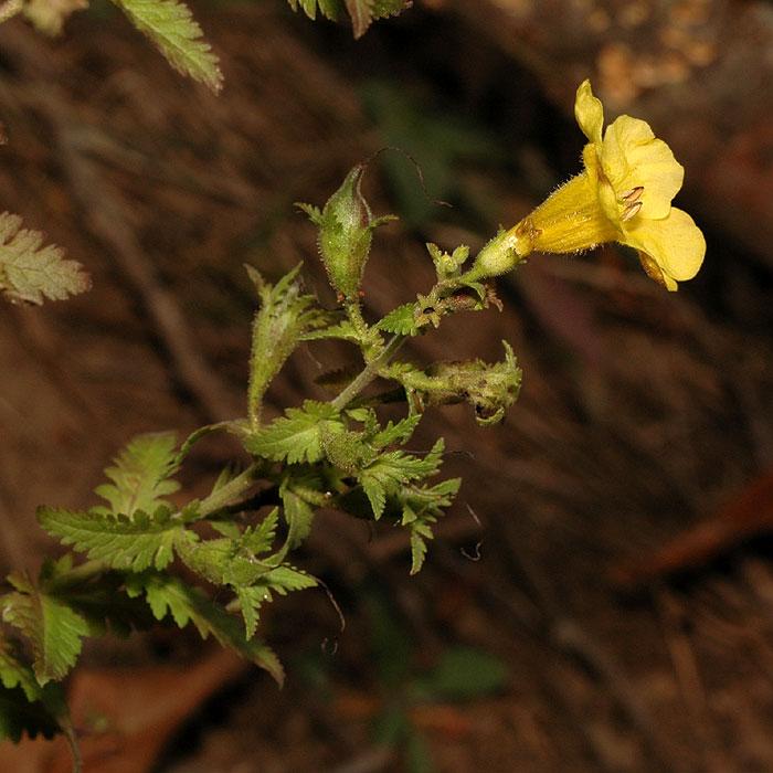Aureolaria pedicularia var. pedicularia