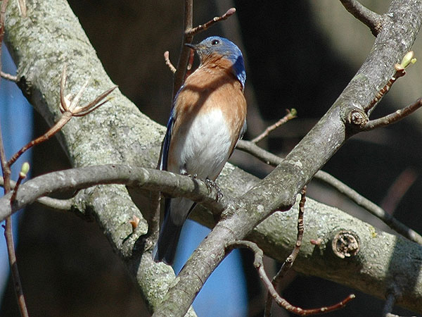 Bluebird<br>Bucktoe Creek Preserve, April 2009