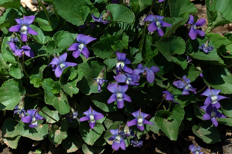 Woolly Blue Violet