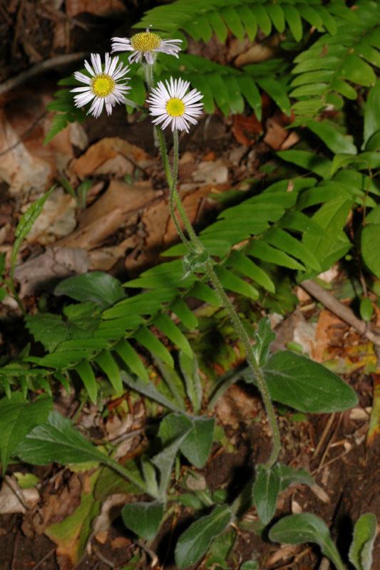 Erigeron pulchellus var. pulchellus