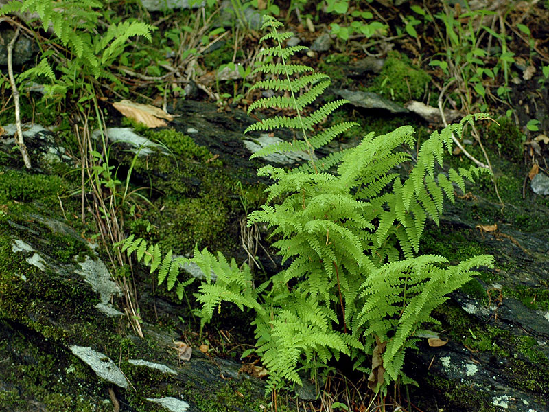 Hay-scented Fern