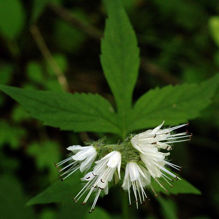 Hydrophyllum virginianum