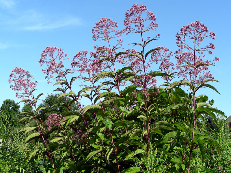 Hollow-stem Joe-pye-weed