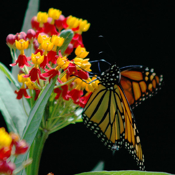Monarch butterfly <i>(Danaus plexippus)</i>