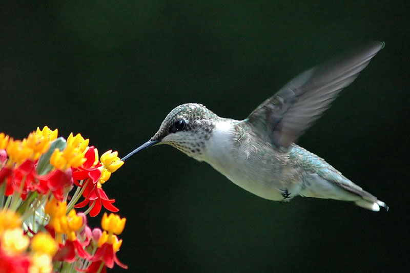 Ruby-throated hummingbird<br>August, 2009