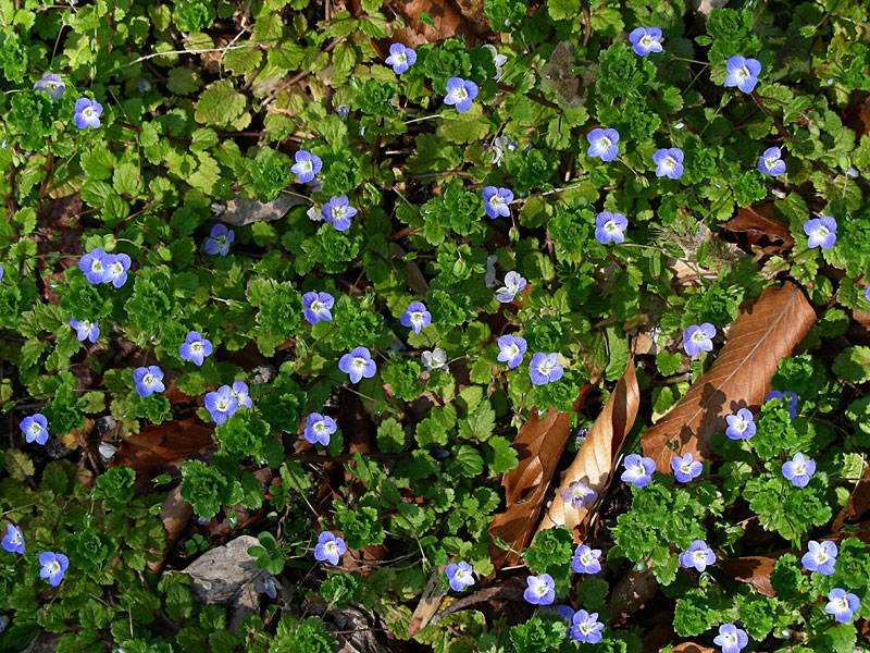 Speedwell  Violets - Wildflower Seeds, Flower Bulbs, Wildflowers