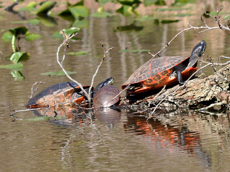Northern red-bellied cooter <i>(Pseudemys rubriventris)</i><br>White Clay Creek State Park, April 2010