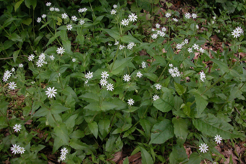 Giant-chickweed