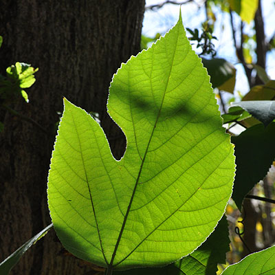Paper-mulberry