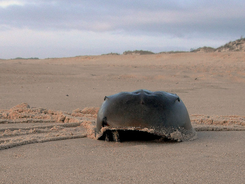 Horseshoe crab<br>Cape Henlopen State Park, April 2011