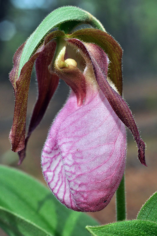 Cypripedium acaule