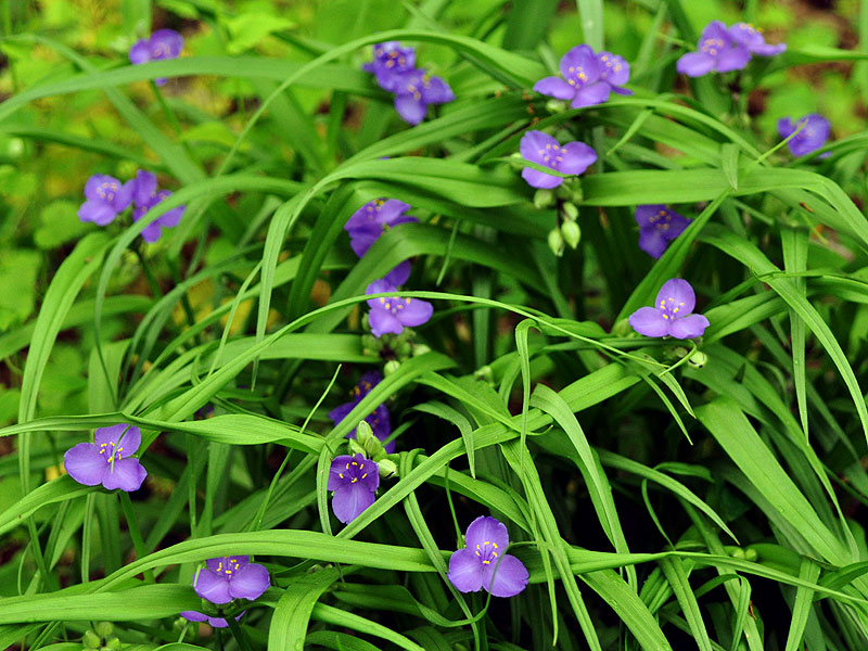 Tradescantia virginiana spiderwort discover life for Miseria pianta