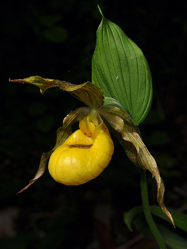 Large Yellow Lady's-slipper