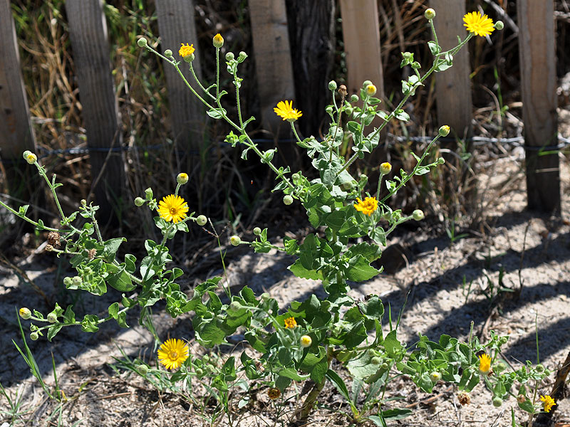 Camphorweed Goldenaster