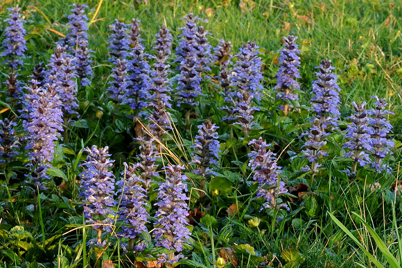 Carpet Bugleweed
