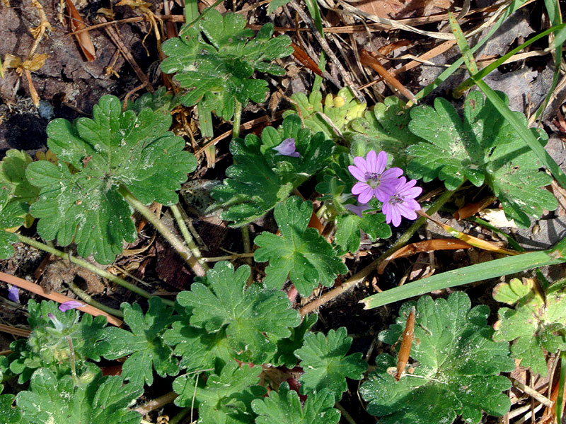 Dovesfoot Crane's-bill