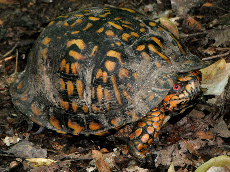 Box turtle <i>(Terrapene carolina)</i><br>Middle Run, May 2012