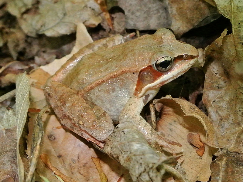 Wood frog <i>(Rana sylvatica)</i><br>Middle Run, May 2012