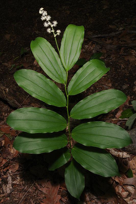 Maianthemum racemosum subsp. racemosum